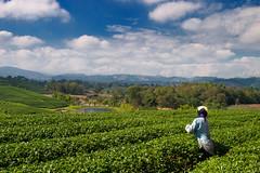 Chuohi Fong Tea Plantation (Laponet) Tags: olympus laponet asia paisatge verd zuiko 1260 e3 paisaje chiangrai uro tea te green robert landscape thailandia verde