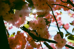 Now, there is nothing but flowers (GPhace) Tags: 2019 35mm filmphotography gc400 kodak minoltax700 spring ultramax400 bloom cherryblossoms flowers manualfocus