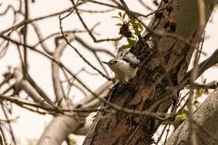 Arizona Trip - Shots from Around Whispering Pine (phicks172) Tags: arizonatripshotsfromaroundwhisperingpine dsc7075 bird nuthatch whitebreastednuthatch arizonatrip nature payden az usa