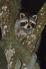 Raccoon (donjuanmon) Tags: donjuanmon nikon nature raccoon animal