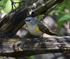 Female American Redstart bird (primpenny1) Tags: americanredstart female bird nature wildlife