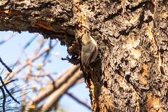 Arizona Trip - Woodland Lake Day 1 (phicks172) Tags: arizonatripwoodlandlakeday1 dsc7198 bird nuthatch whitebreastednuthatch arizonatrip nature pinetop az usa