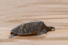 Green Sea Turtle with Fibropapilloma Tumor (dmills727) Tags: hawaii hookipabeachpark maui herp reptile turtle