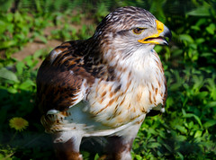 Hawk (manishkasera) Tags: bird predatory hawk