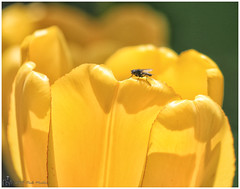 Fly on a Flower (Looking for something to post!!) Tags: canon eos 70d 100400mm canonef100400mm springtime nature psp2019 paintshoppro2019 efex topaz topazstudio colour color ontario canada