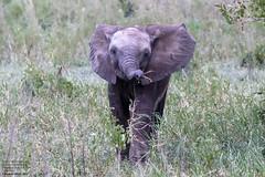 African Bush Elephant (Loxodonta africana) Tarangire National Park, Tanzania 2019-01 (Ricardo Bitran) Tags: loxodontaafricana africanbushelephant tarangirenationalpark tanzania mammalsoftanzania