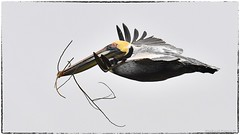 Pelican (RKop) Tags: florida d500 raphaelkopanphotography 200500f56 alafiabnaks nikon