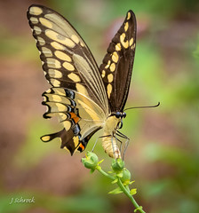 Giant Swallowtail laying eggs... (jschrock46) Tags: butterfly swallowtail giantswallowtail layingeggs egglaying
