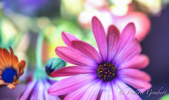 Disrupted (frederic.gombert) Tags: flower flowers light color colors sun sunlight daisy pink red blue green macro plant nikon spring summer