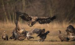 The battle goes on (4)! (Jambo53 ()) Tags: whitetailedeagle crobertkok nikond800 immature mature volwassen birdofprey raptor roofvogels adelaar zeearend