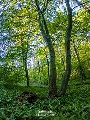 Wild Garlic (Stefan Beckhusen) Tags: wildgarlic flowers forest woodland nature elmmountainrange germany green springtime spring