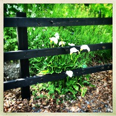A Captive Calla (Julie (thanks for 8 million views)) Tags: tinternwoods fence hff callalily flower squareformat hipstamaticapp 100xthe2019edition 100x2019 image56100 ireland irish wexford outdoor nature flora