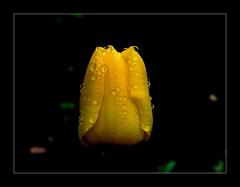 Tulipan po deszczu. (andrzejskałuba) Tags: poland polska pieszyce dolnyśląsk silesia sudety europe plant roślina kwiat kwiaty flower flora floral flowers natura nature natural natureshot natureworld nikoncoolpixb500 watersdrops kroplewody afterrain po deszczu beautiful beauty black color cień czarny macro water woda zieleń green garden ogród yellow żółty tulip tulipan 100v10f 1000v40f 1500v60f