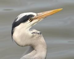 Grey Heron #2 (MJ Harbey) Tags: heron bird greyheron ardeacinerea aves pelecaniformes ardeidae ardea miltonkeynes furztonlake buckinghamshire nikon d610 nikond610