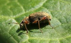 0579 (jon. moore) Tags: denhamcountrypark buckinghamshire coleoptera