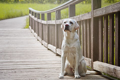 Cooper (Labrador Retriever) (Aileen Rese) Tags: labrador retriever labbi gelb yellow photoshop nikon mainz gonsenheim gonsbach bridge brücke