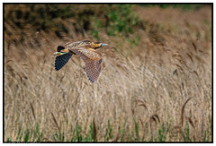 In flight Bittern (steve.gombocz) Tags: outdoor animal ngc outandabout nature wildlife wildlifereserve naturereserve wildlifephotos naturephotos wildlifephotography bokeh wildlifephotograph naturephotography wildlifepictures naturepictures bbcspringwatch tier animale flickrwildlife flickrnature britishwildlife wildlifeuk rspb rspbstaidans bird birds ukbird bittern birdwatch birdwatcher birdwatching naturewildlife flickrbirds birdphoto birdpicture birdsightings birdphotography colour colours color avian uccello oiseau vogel ave pajaro flickraddicts nikon nikond850 nikoneurope nikoncamera nikkor nikon500mmf4 nikonfx