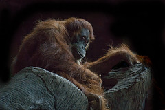 Animal Portraits - Tools (KWPashuk (Thanks for >3M views)) Tags: sony alpha a6000 55210mm lightroom luminar luminar2018 luminar3 luminar31 kwpashuk kevinpashuk ape orangutan feeding tools animal portrait primate sumatran wildlife nature toronto zoo ontario canada torontozoo