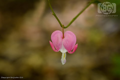 "The ""Lonely Hearts Club"" (Baljinder.Gill) Tags: flowers flower flowerphotography flowerbokeh nikon nature naturephotography bokeh bokehphotography pink pinkflower heart loveheart listerpark spring springflowers"