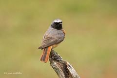 Redstart - Male 501_9653.jpg (Mobile Lynn) Tags: nature birds flycatchersredstarts redstart bird fauna phoenicurusphoenicurus wildlife godalming england unitedkingdom coth specanimal