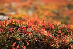20180831-Canon EOS 6D-6445 (Bartek Rozanski) Tags: mysusaeter oppland norway rondane national park hiking red bearberry nasjonalpark norge noreg