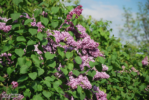 Київ, Ботанічний сад імені Гришка  Цвіте бузок InterNetri Ukraine 87