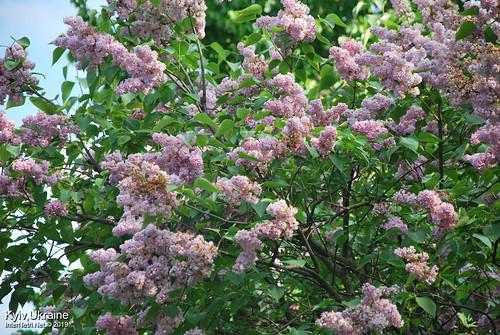 Київ, Ботанічний сад імені Гришка  Цвіте бузок InterNetri Ukraine 64