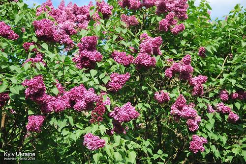Київ, Ботанічний сад імені Гришка  Цвіте бузок InterNetri Ukraine 62
