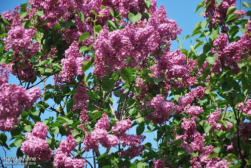 Київ, Ботанічний сад імені Гришка  Цвіте бузок InterNetri Ukraine 56