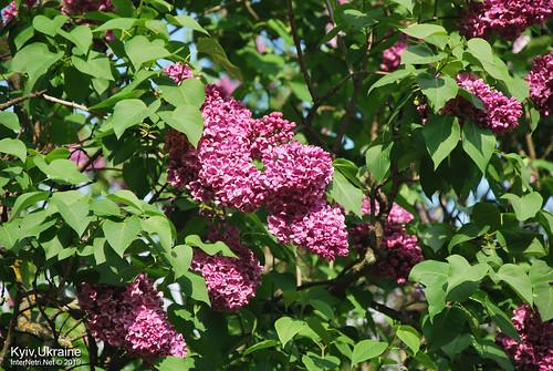 Київ, Ботанічний сад імені Гришка  Цвіте бузок InterNetri Ukraine 52