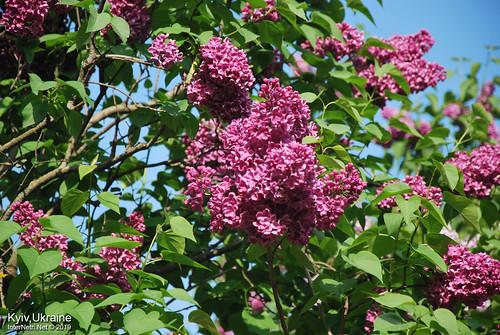 Київ, Ботанічний сад імені Гришка  Цвіте бузок InterNetri Ukraine 51