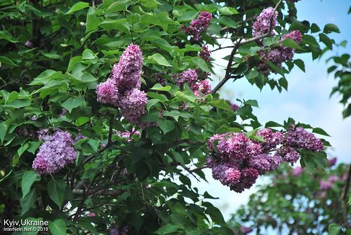 Київ, Ботанічний сад імені Гришка  Цвіте бузок InterNetri Ukraine 48