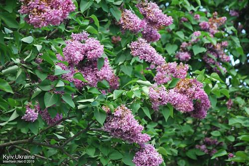 Київ, Ботанічний сад імені Гришка  Цвіте бузок InterNetri Ukraine 46