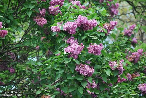 Київ, Ботанічний сад імені Гришка  Цвіте бузок InterNetri Ukraine 44
