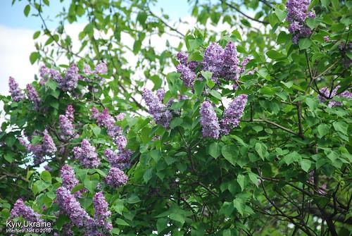 Київ, Ботанічний сад імені Гришка  Цвіте бузок InterNetri Ukraine 42