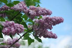 Київ, Ботанічний сад імені Гришка  Цвіте бузок InterNetri Ukraine 40