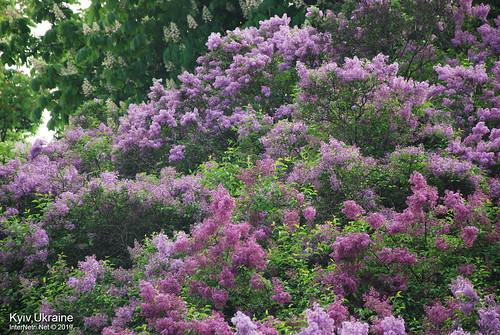 Київ, Ботанічний сад імені Гришка  Цвіте бузок InterNetri Ukraine 29