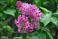 Київ, Ботанічний сад імені Гришка  Цвіте бузок InterNetri Ukraine 18