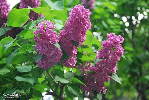 Київ, Ботанічний сад імені Гришка  Цвіте бузок InterNetri Ukraine 16