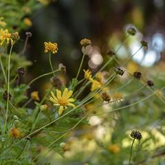 Margaritas... (Irene Carbonell) Tags: margaritas flores flowers nature naturaleza 35mm nikon