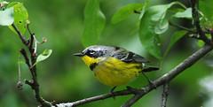 Nashville Warbler ? (hbp_pix) Tags: hbppix harry powers mt auburn cemetery nashville warbler oriole