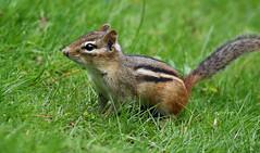 Chippy (hbp_pix) Tags: hbppix harry powers mt auburn cemetery nashville warbler oriole