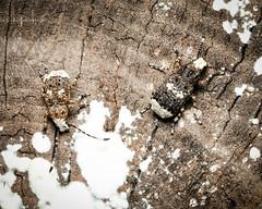 Platystomos albinus (m+f) (mickmassie) Tags: anthribidae coleoptera curculionidae hanworth insecta littlepark