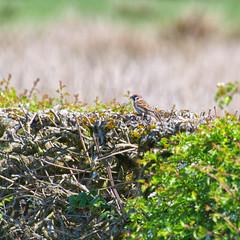 Tree Sparrow (Margaret S.S) Tags: bird tree sparrow