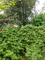 P1190412 (jrcollman) Tags: philadelphus hamamelispallida plants rhododendronbibiani blackcurrant pplant rplant eplant hplant rhododendron 21beechwoodgarden archived lplant loganberry bplant eucryphiaxnymansensisnymansay