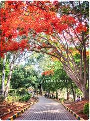 Gulmohar Street (:silvereye:) Tags: weekend family day outing april 2019 summer butterflypark tiles flower street red gulmohar bangalore karnataka iphonese limsclicks limraj