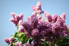 IMGP8268 (PahaKoz) Tags: весна природа флора сад цветение цветы spring nature flora garden blossom bloom blossoming flowers сирень lilac