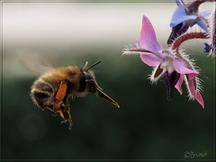 Bourdon roux approchant.. (Brunot') Tags: bourdon bourrache bumblebee hummel abejorro borragem borage borraja borretsch