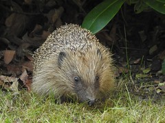 Hedgehog (davidhampton1066) Tags: hedgehog