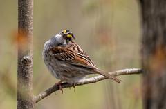 DSC_0047 (doug.metcalfe1) Tags: 2019 dougmetcalfe hollandmarshprovincialwildlifemanagementareasiderd20 nature ontario outdoor spring westgwillimbury whitethroatedsparrow bird sparrow